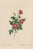 """Alpina ordinary. """"Roses"""""""