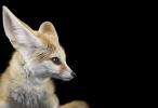 Fennec Fox #1