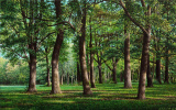 Oak grove. Augsburg