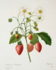 """A bunch of strawberries. """"Selection of the most beautiful flowers"""""""