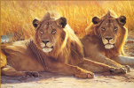 The eyes of lions