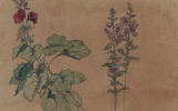 Мартин Джонсон Хед. Мальва. Эскиз цветов Колумбии, Флориды и Массачусетса