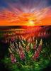 Lupins at sunset