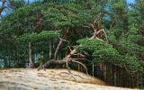 Pine trees on sand dunes