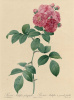 "Multiflora platifilla. ""Roses"""