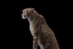 Cheetah#1