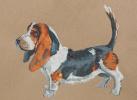 Собака породы Бассет Хаунд