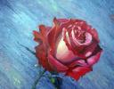 Роза красная цвела