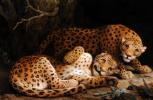 Джордж Стаббс. Два леопарда