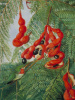Fruits of wild tamarind and red chest breasts, Jamaica