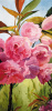 Rampage of sakura