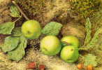 Джон Уильям Хилл. Зеленые яблоки