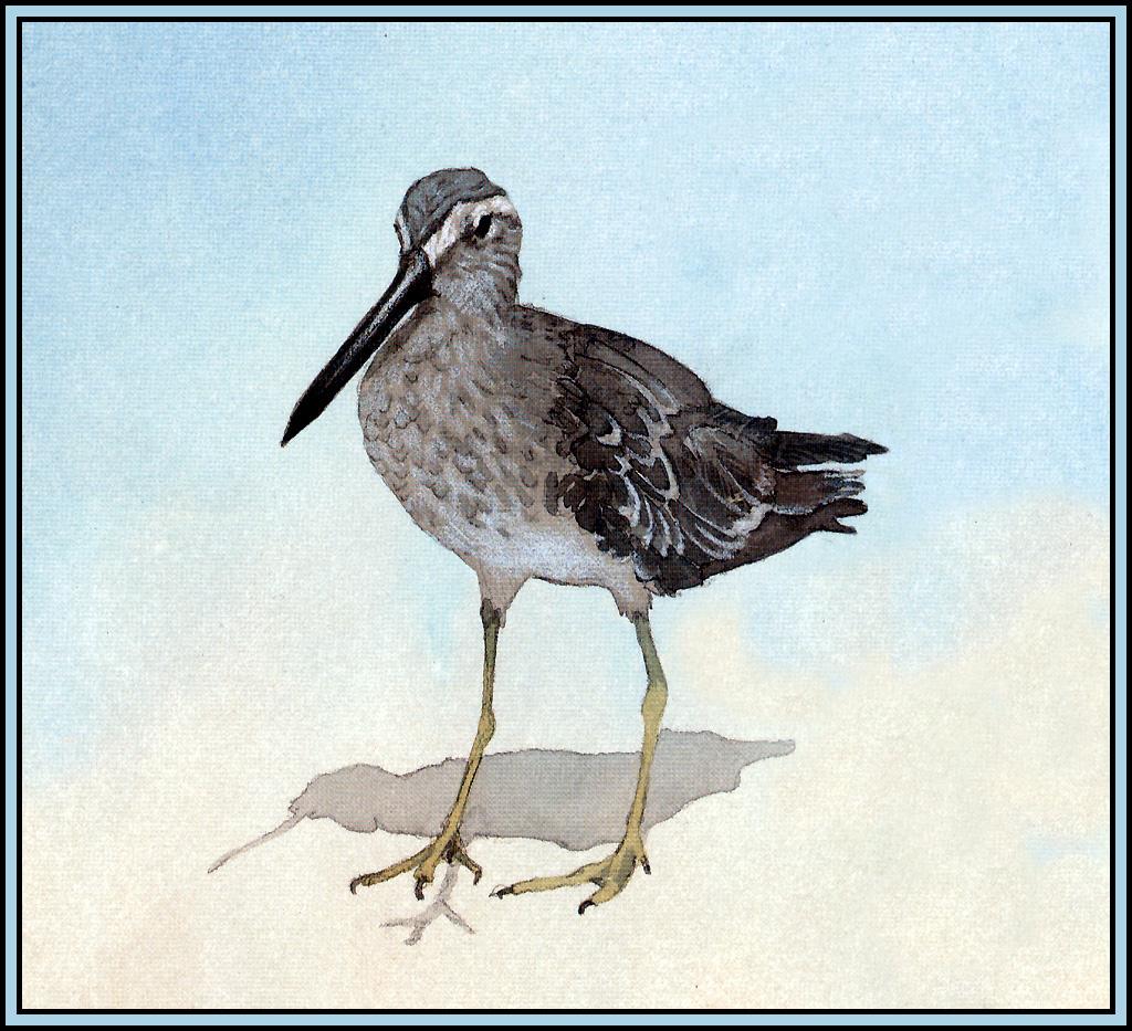 Roger Bansemer. Bukasovii black-tailed Godwit