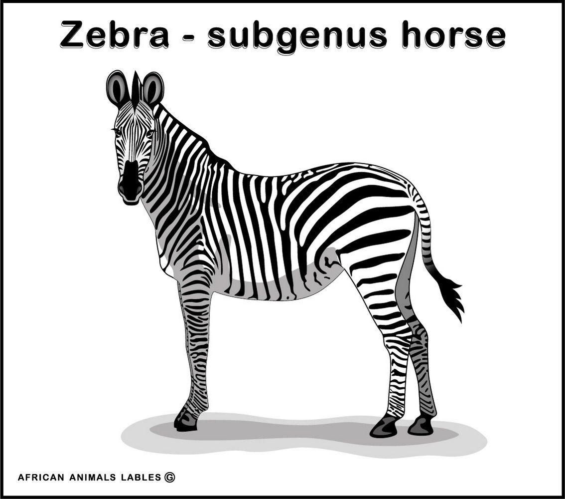 Gleb Bereznev. Zebra