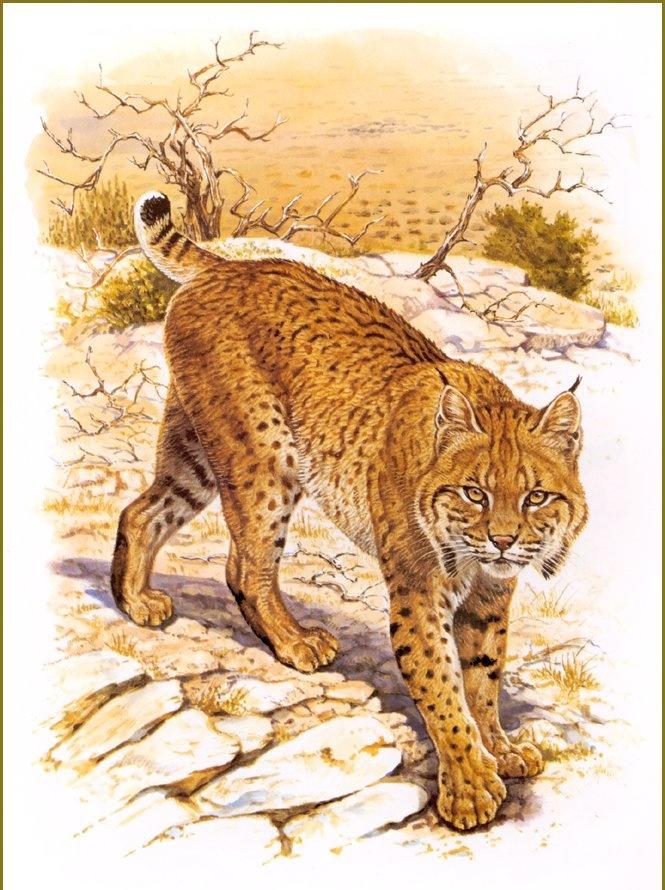 Robert Dallet. Red lynx