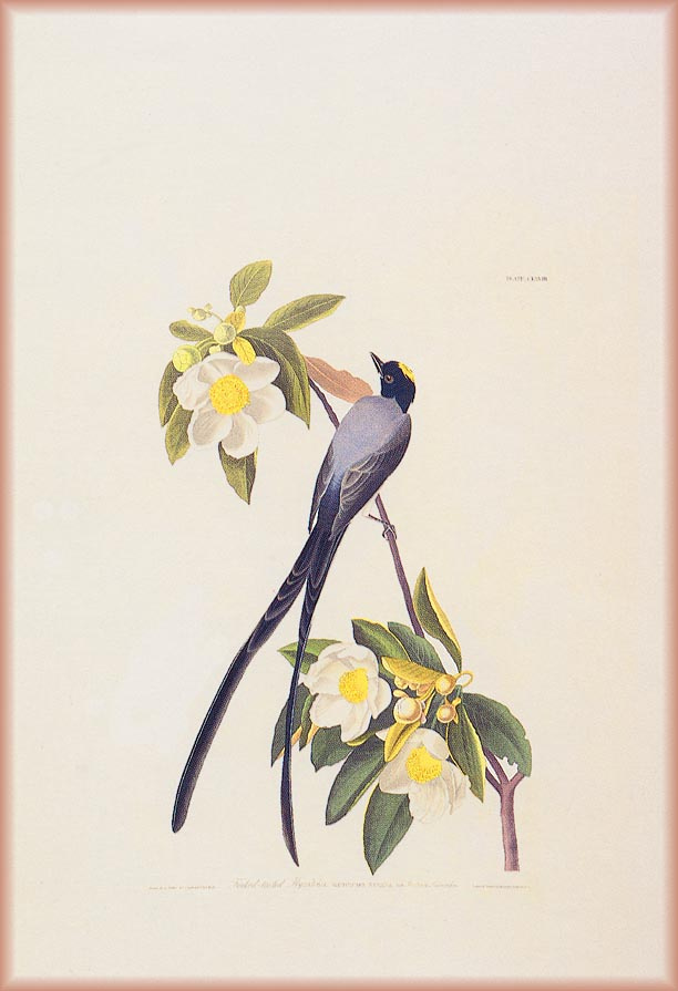 John James Audubon. White flowers