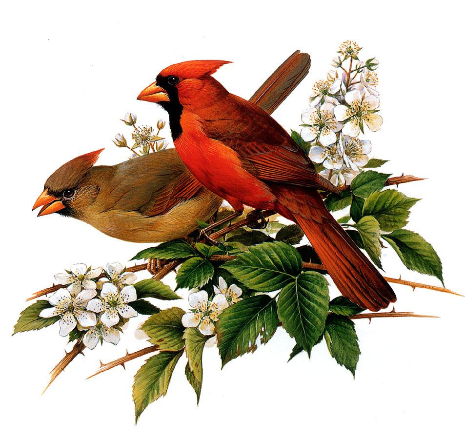 Роджер Тори Петерсон. Северные кардиналы с многоцветковой розой