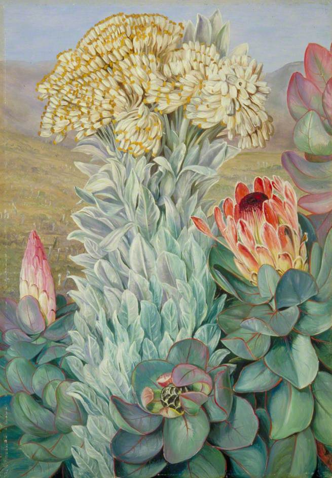 Marianna North. Giant Helichrysum and Protea, Port Elizabeth, South Africa