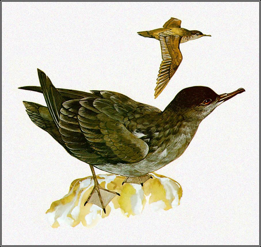 Toni Oliver. Slender-billed Petrel