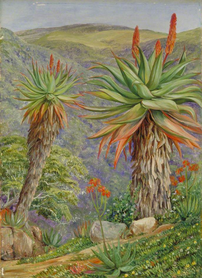 Marianna North. Aloe and Mesembryanthum, South Africa