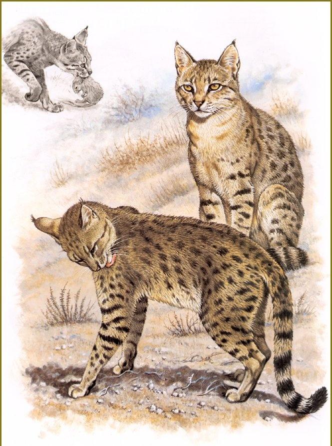 Robert Dallet. Indian wild cat