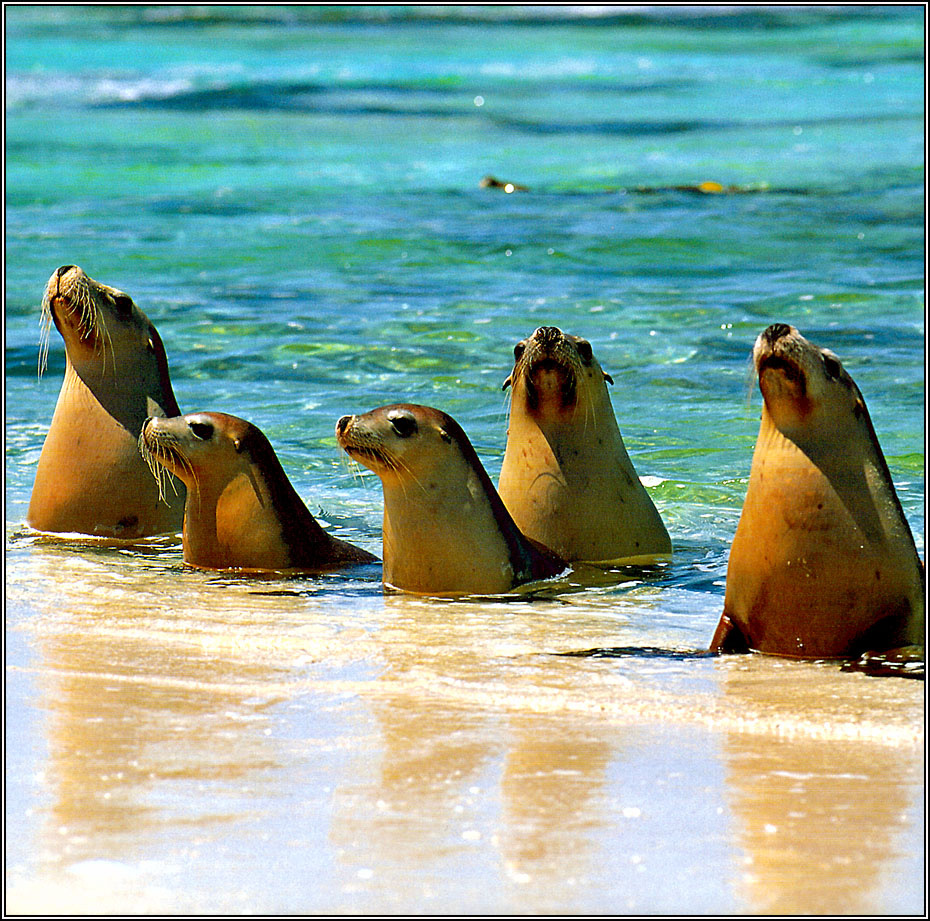 Peter Walton. Australian sea lions