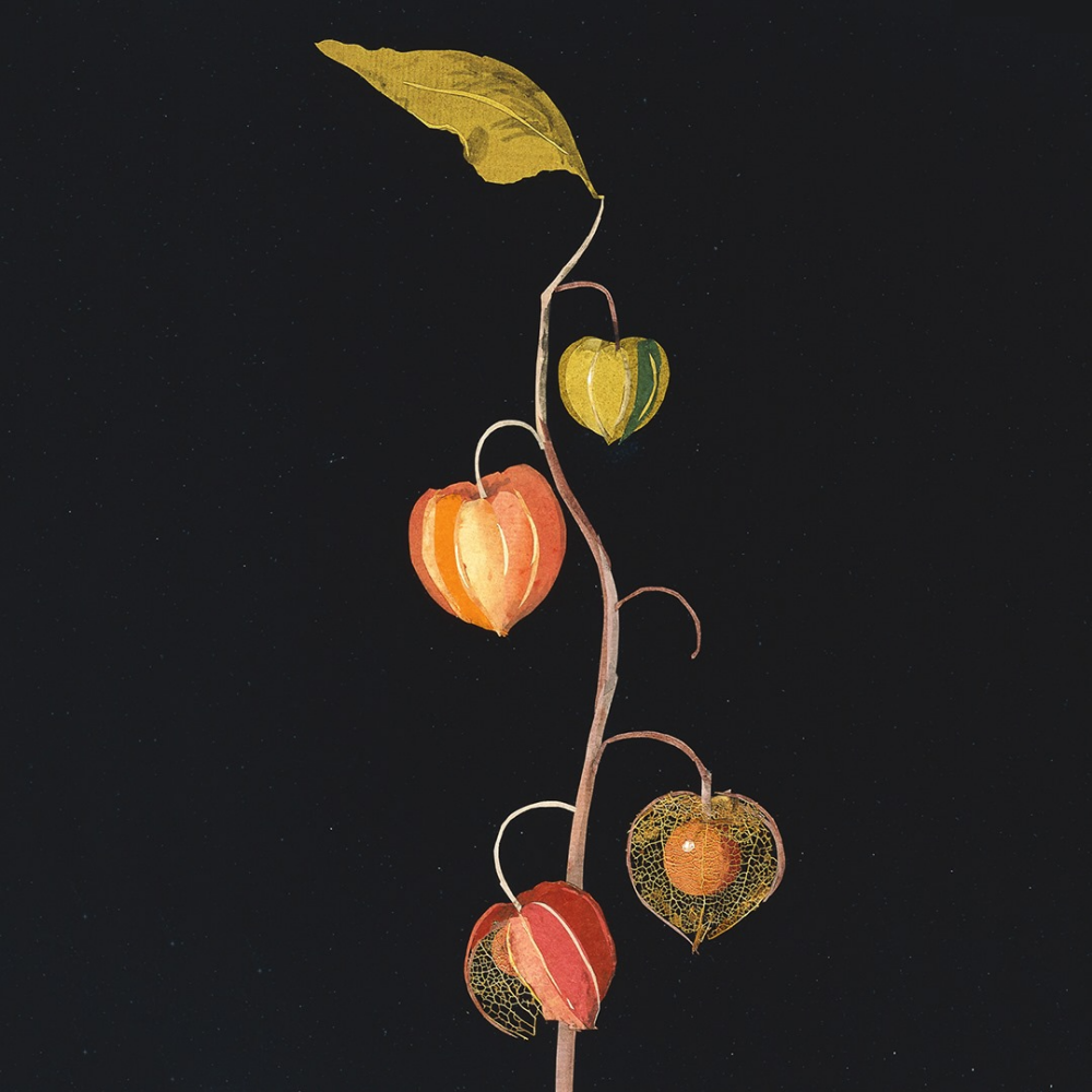 Mary Granville Delaney. Physalis (Winter cherry)