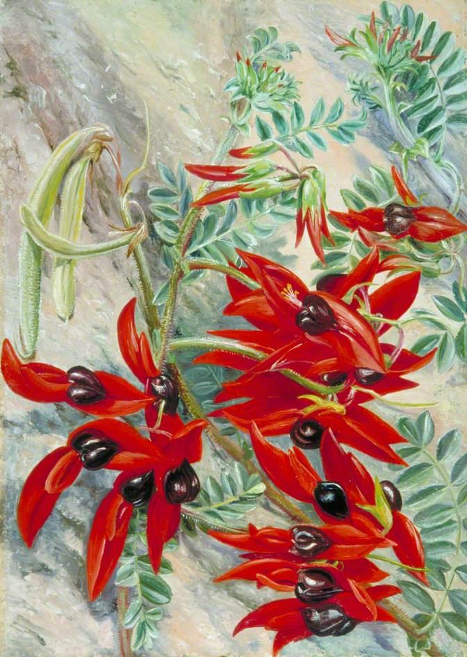Marianna North. Parrot Flower, Australia
