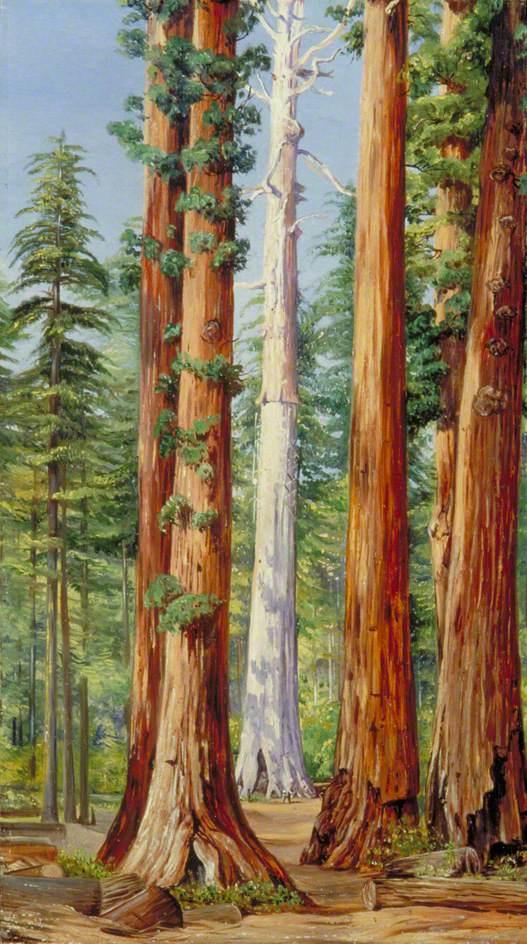 Marianna North. Ghost of a Big Tree, Calaveras Grove, California