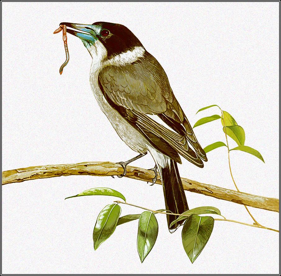 Toni Oliver. Serephina flute bird