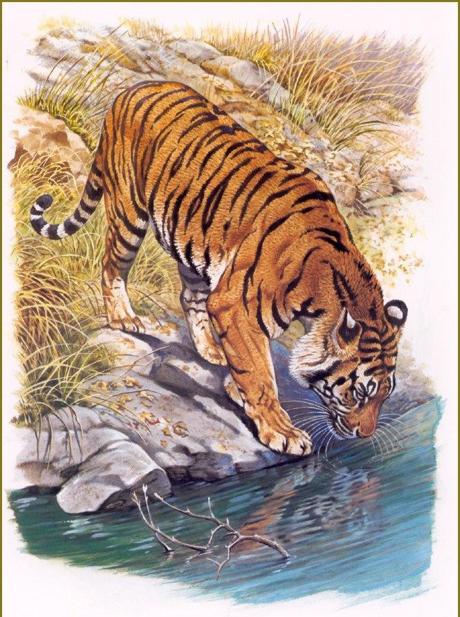 Алмазная вышивка бенгальские тигры 46
