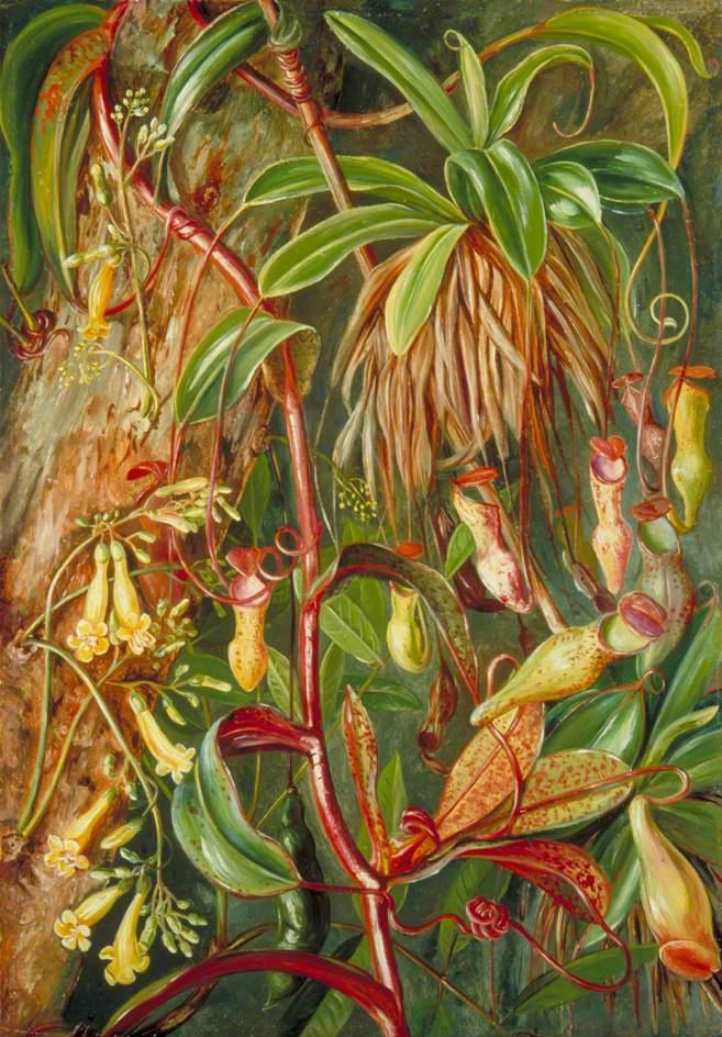 Марианна Норт. Кувшинчиковые растения, Сейшельские острова