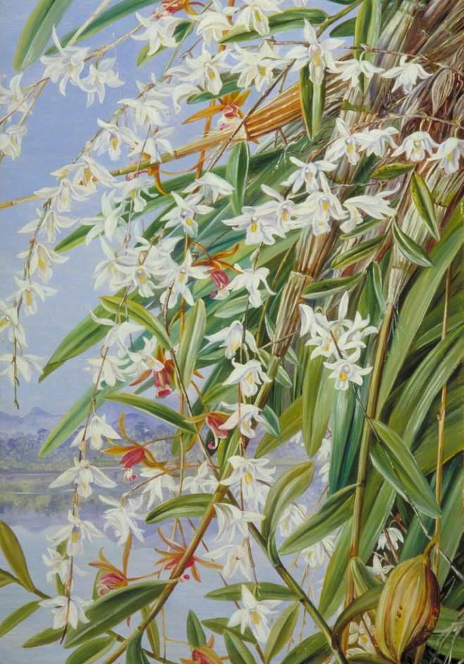 Марианна Норт. Голубая орхидея и пурпурно-коричневый цимбидиум, Борнео