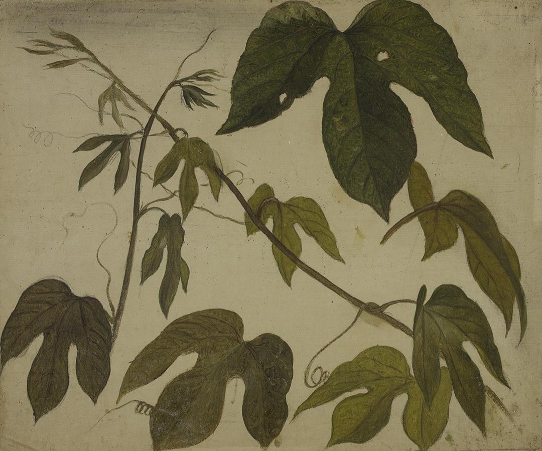 Martin Johnson Head. Passiflora leaves