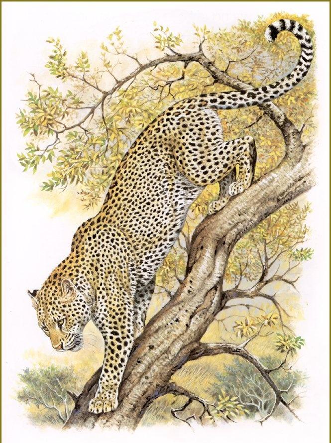 Robert Dallet. Somali leopard