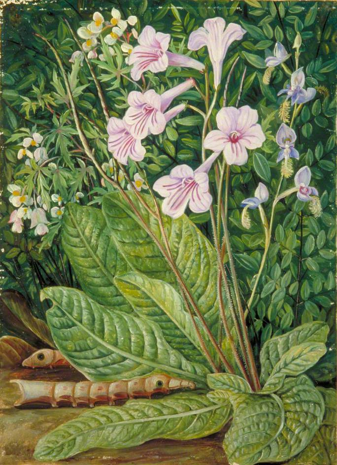 Marianna North. South African Flowers and Snakehead Caterpillars
