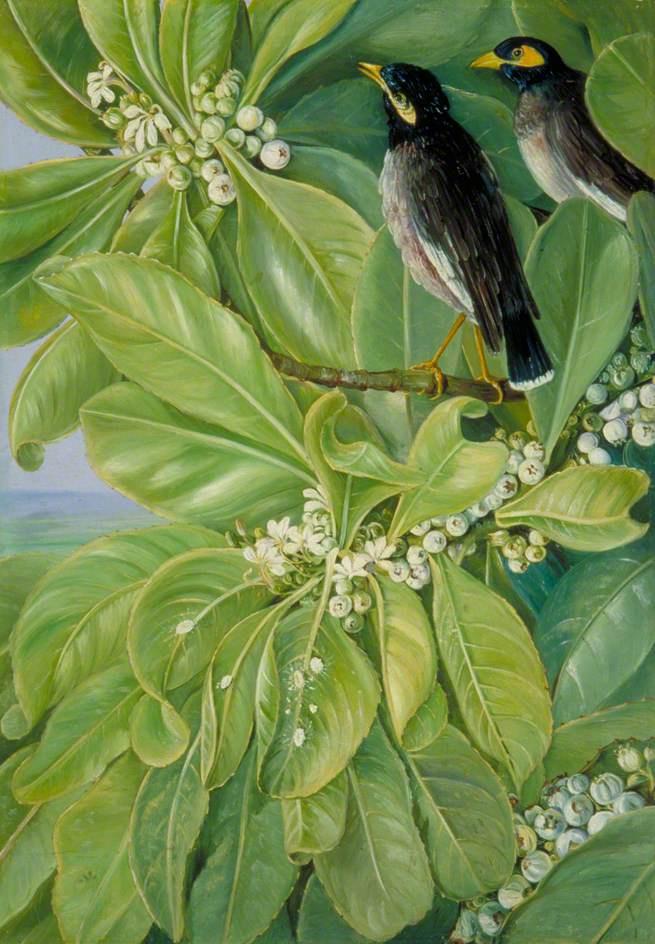 Марианна Норт. Ласточки-мартины на цветущем дереве, Сейшелы