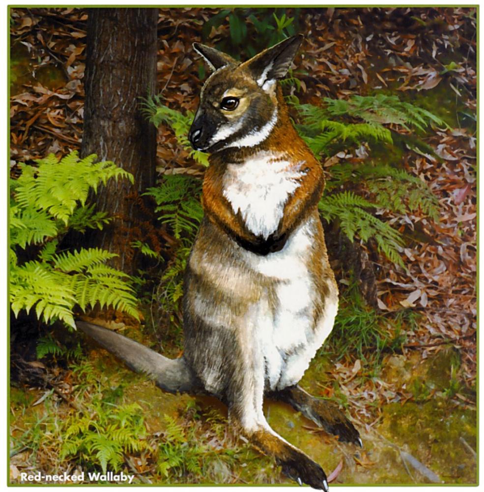 Trish Hart. Red-faced kangaroos