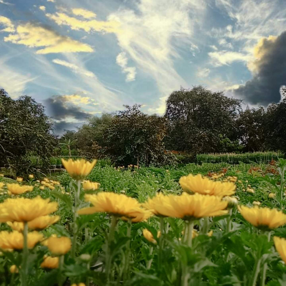 Son Nguyen Huu. Sunflowers