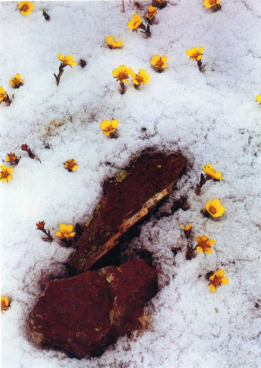Дэвид Мюнх. Цветы на снегу