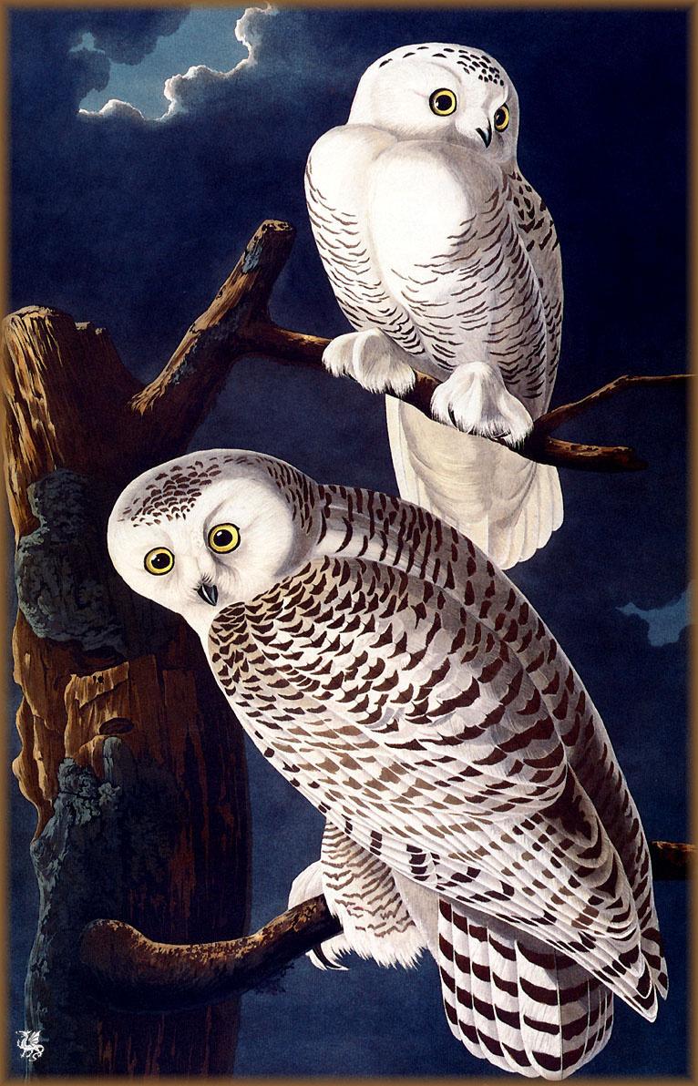 Джон Джеймс Одюбон. Белая сова