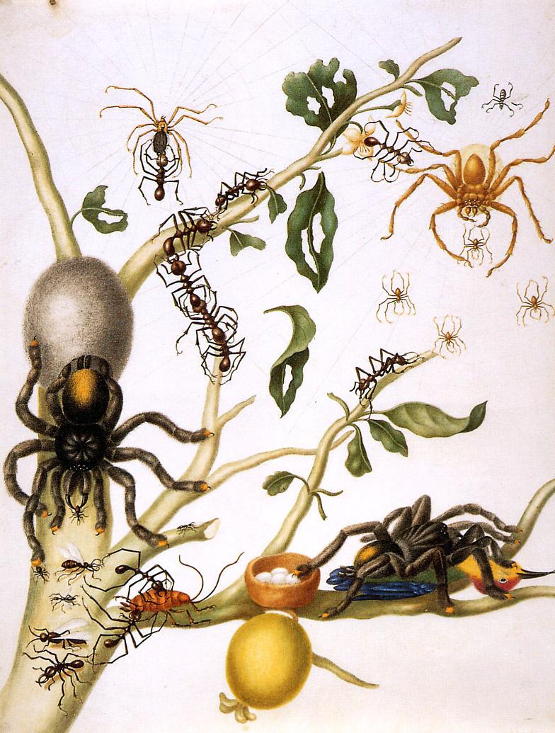 Maria Sibylla Merian. Guavas with giant crab spiders, orb-web spiders, umbrella ants, cockroaches, tarantulas and hummingbirds. Suriname