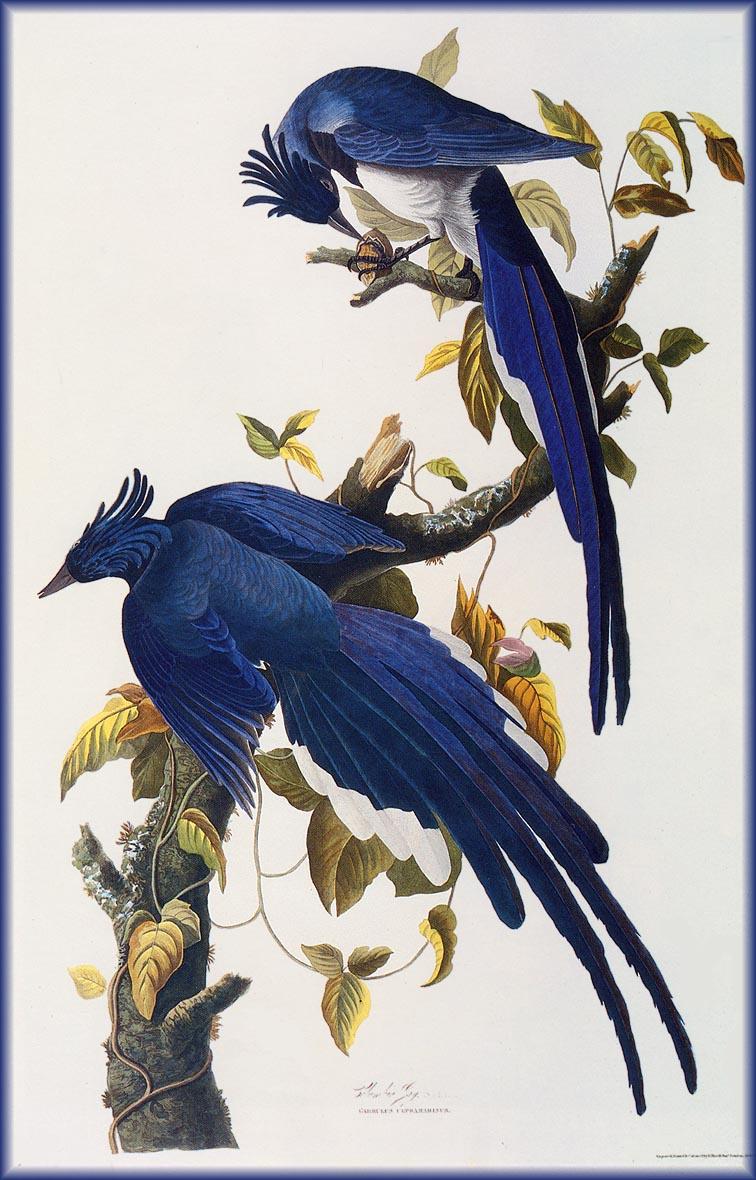 Джон Джеймс Одюбон. Синие птицы