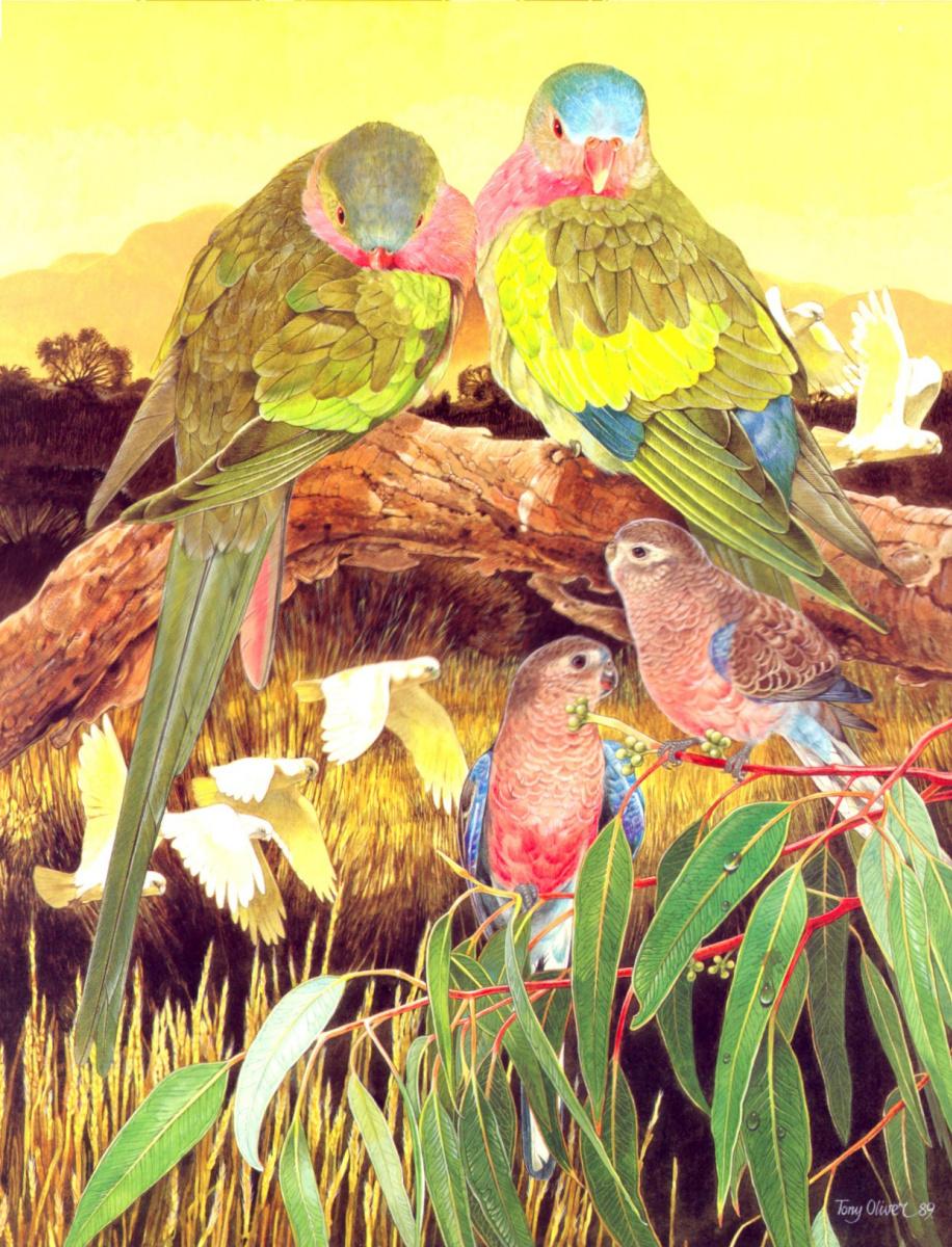 Тони Оливер. Александрийский попугай