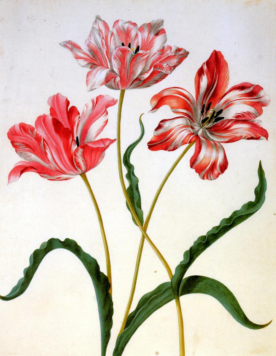 Мария Сибилла Мериан. Три тюльпана