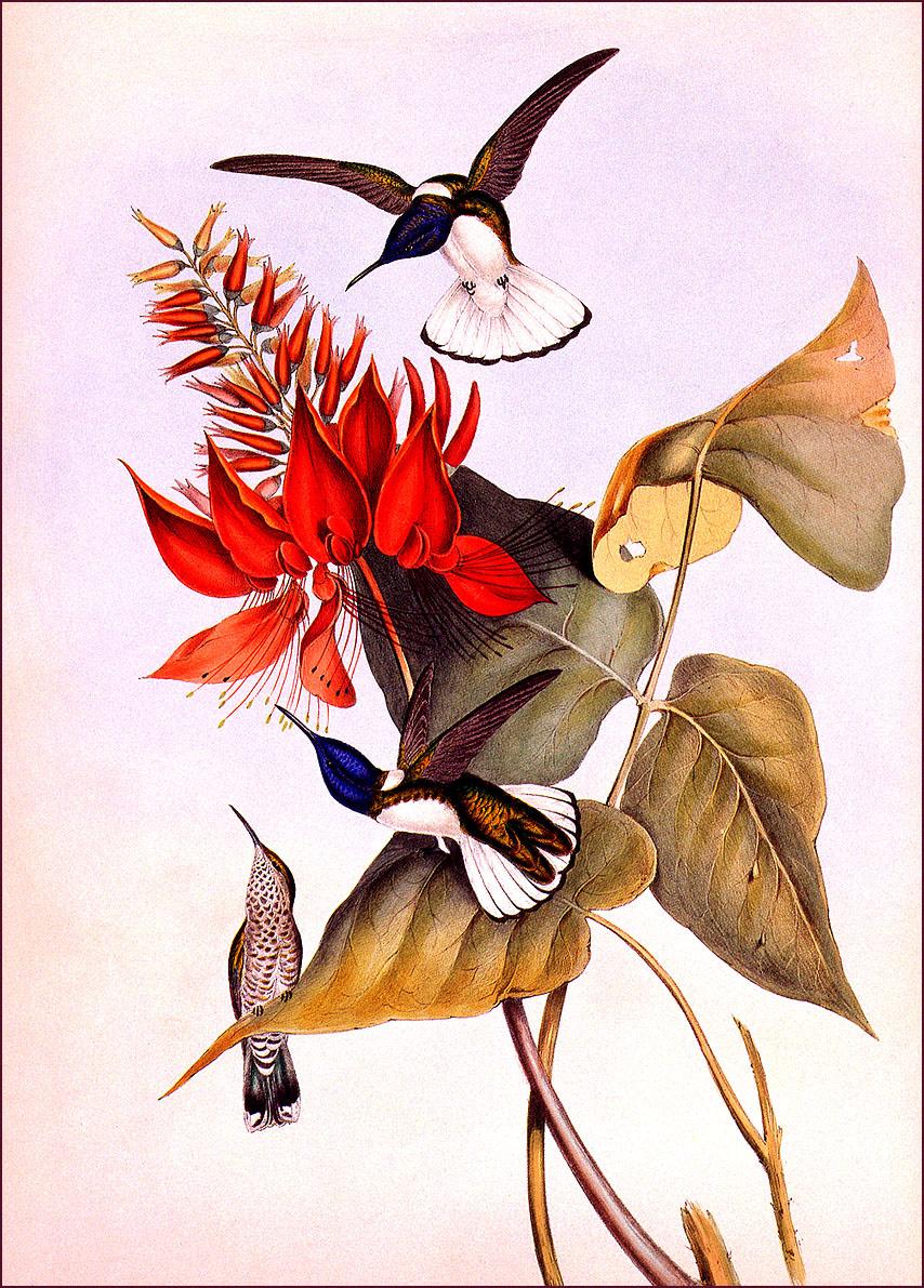 Джон Гоулд. Птица