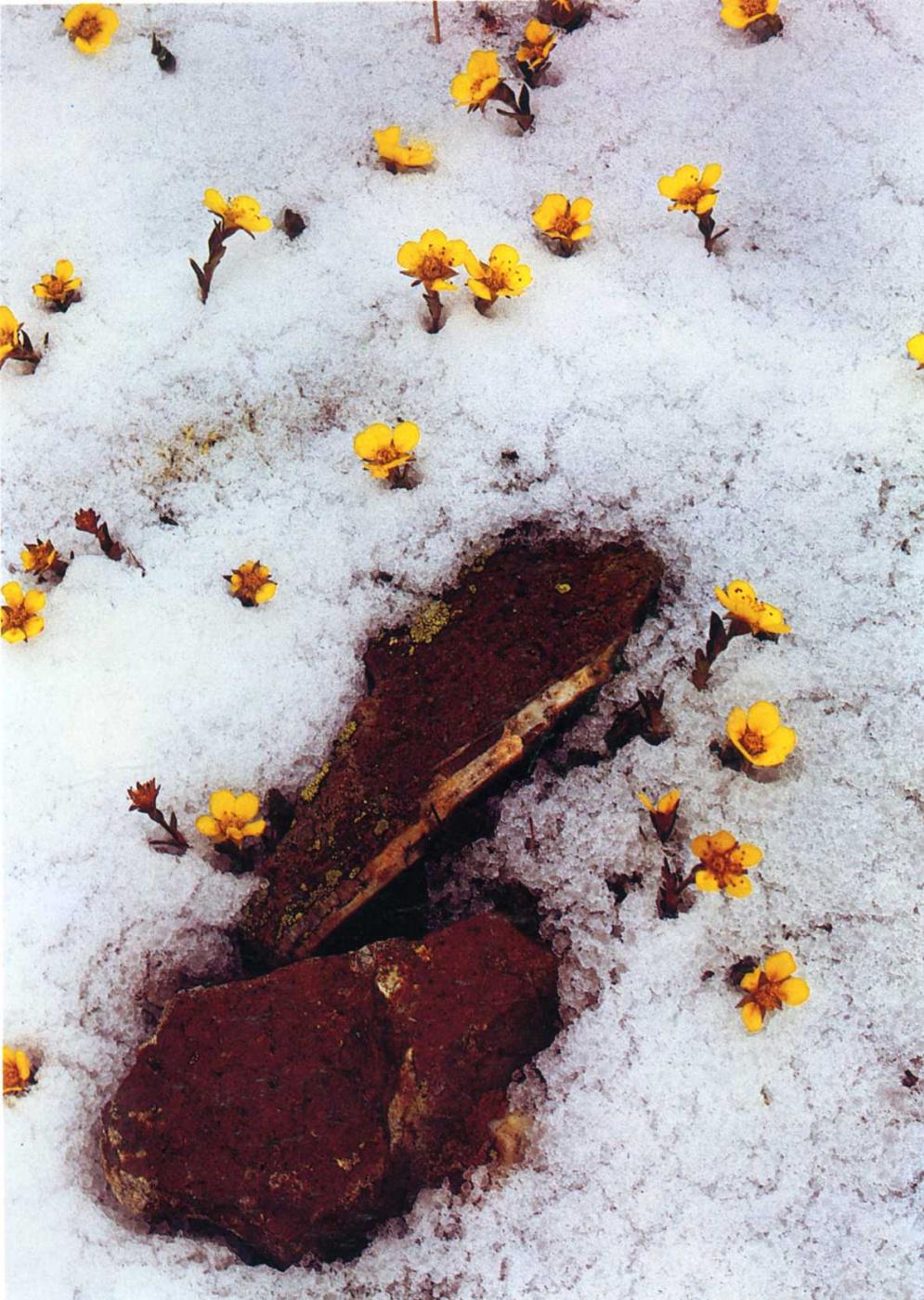 David Munich. Flowers in the snow