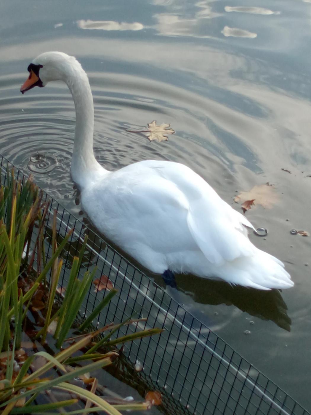 "Alexey Grishankov (Alegri). ""А белый лебедь на пруду..."""