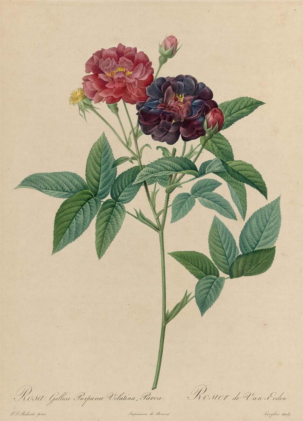 "Pierre-Joseph Redoute. Gallika Purpuria Velutina from Parva. ""Roses"""