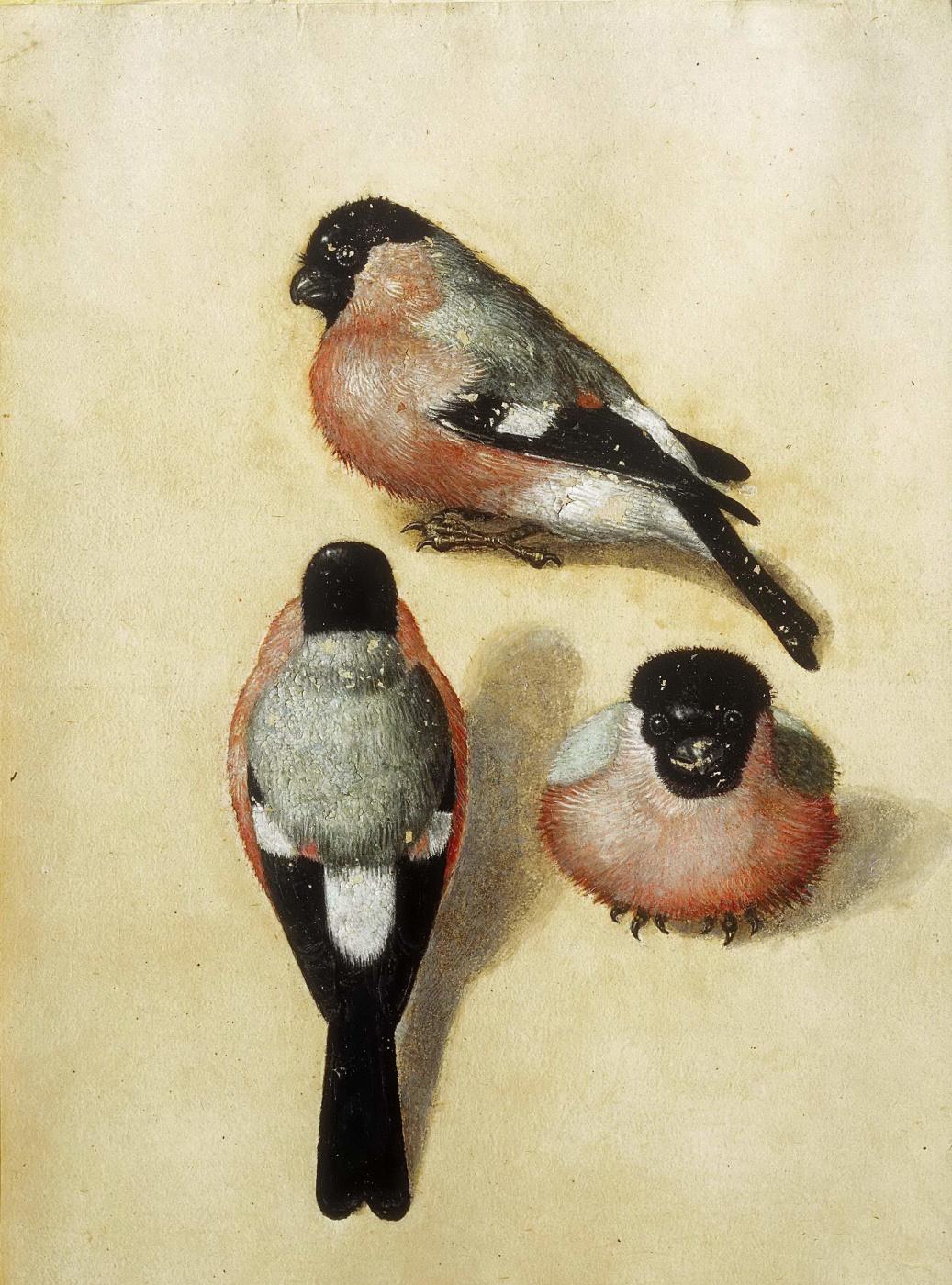 Albrecht Dürer. Three bullfinch